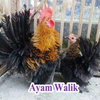 Ayam Walik