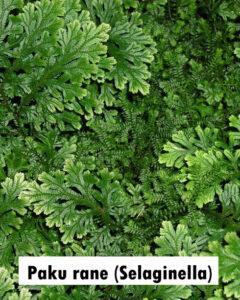 Paku rane (Selaginella)