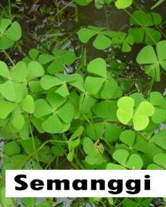 Semanggi (marsilea crenata)